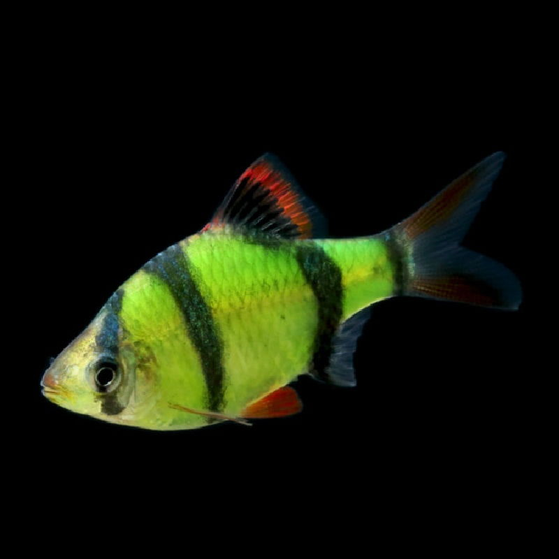 Budidaya Ikan Sumatra (Sumatra Barb, Tiger Barb)