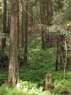 Ferns under the redwoods along Hazel Dell Road, Watsonville, California