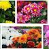 Cara Membudidayakan Tanaman Bunga Krisan