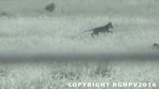 Videos muestran que el Tigre de Tasmania puede no estar extinto