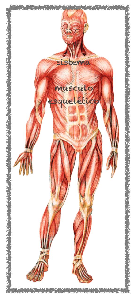 El sistema musculo-esquelético | Blog de anatomía