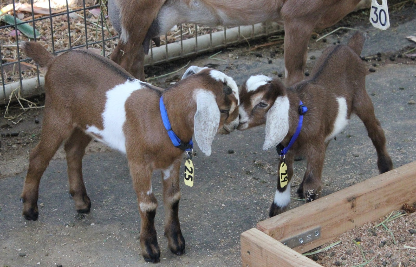 Amber Waves Pygmy Goats: For Sale, two gorgeous hand raised