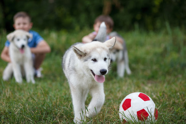 Two boys playing with malamute puppies and a football outside