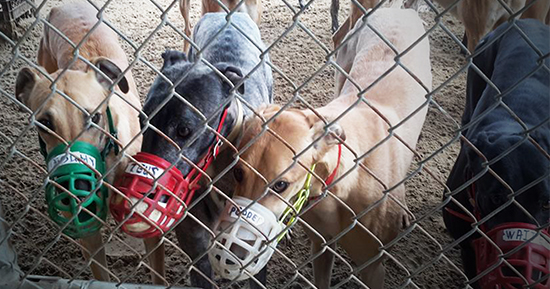 Greyhounds at a US racing kennel