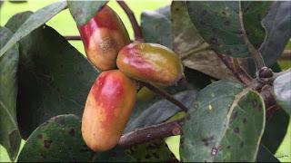 gambar buah ogeechee