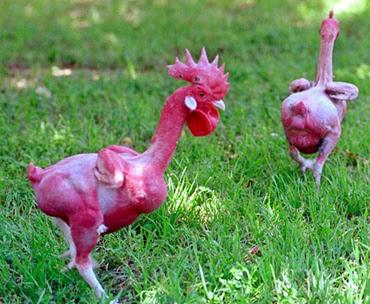 pollos sin plumas temas de actualidad