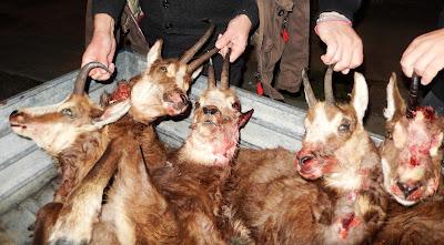 Νέα καταγγελία για την θανάτωση των αγριόγιδων στό βουνό της Τύμφης