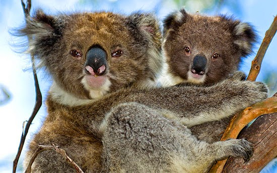 coalas lindos