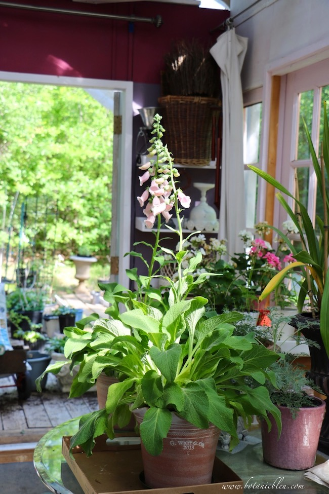 french style dream greenhouse with foxgloves, burgundy wall, white shelves opens onto small garden