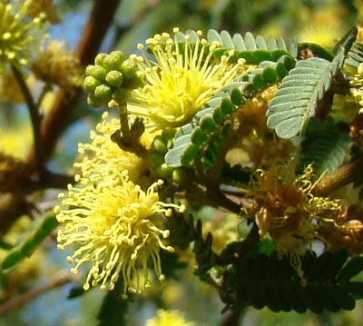 arboles argentinos Rama negra Mimosa bonplandii
