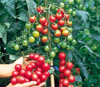 Cara Bercocok Tanam Tomat Cherry di dalam Pot