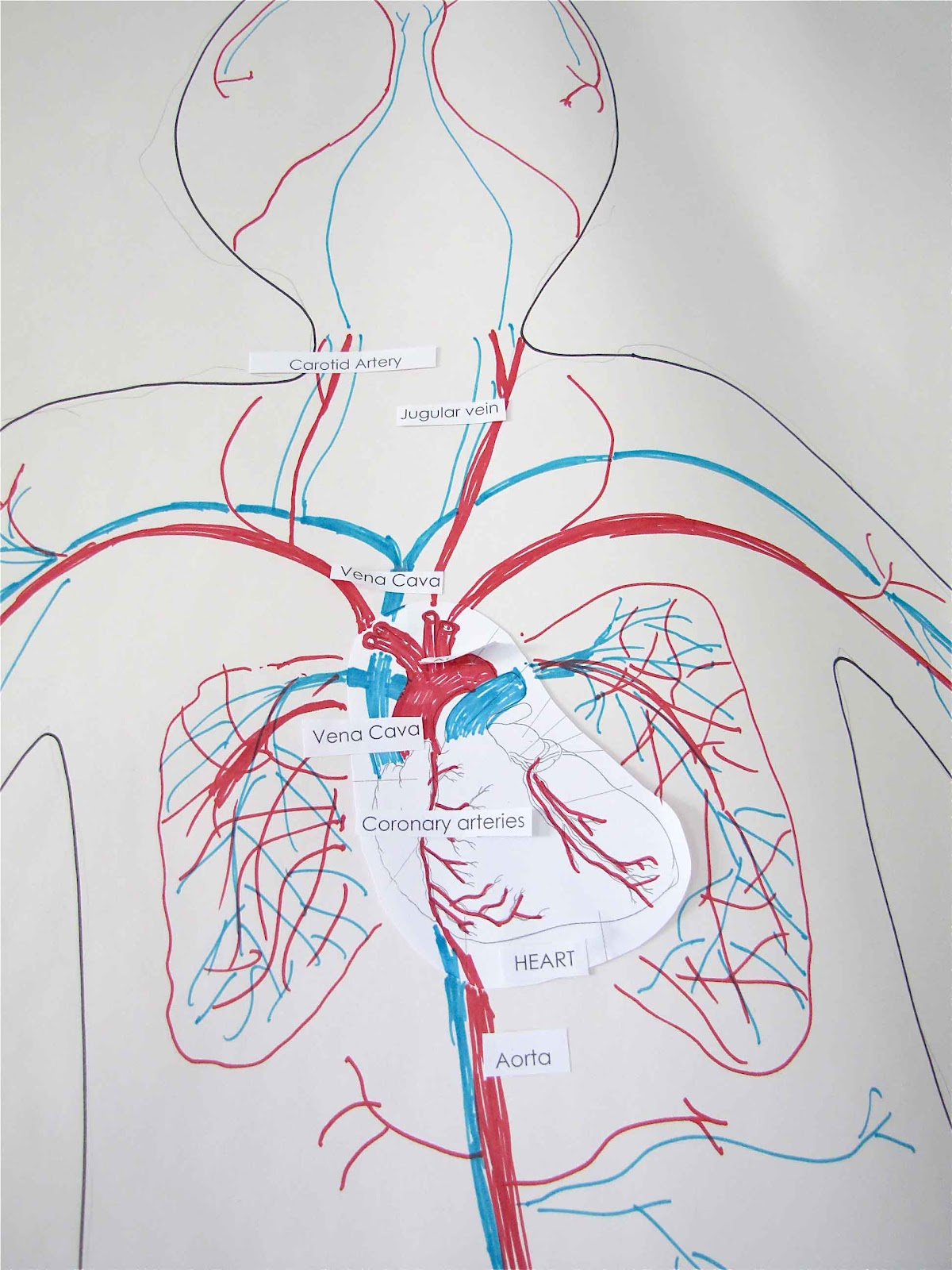 Circulatory System And Heart Dissection
