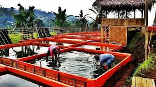 Cara Pemijahan Ikan Lele Pada Kolam Sesuai Kebutuhan