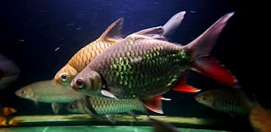 Yuk, Kenalan Sama Ikan Lalawak!