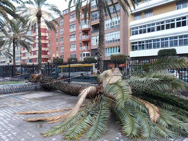 Foto de la palmera caída en el interior del Instituto Pérez Galdós de Las palmas de Gran Canaria
