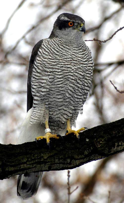 Indian birds - Image of Northern goshawk - Accipiter gentilis