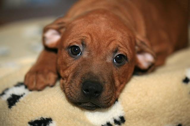 Staffordshire Bull Terrier : Elevage, caractère, catégorie