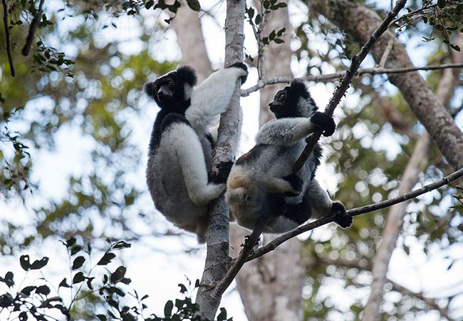 Tinuku Researchers estimate number of callers in indri lemurs song
