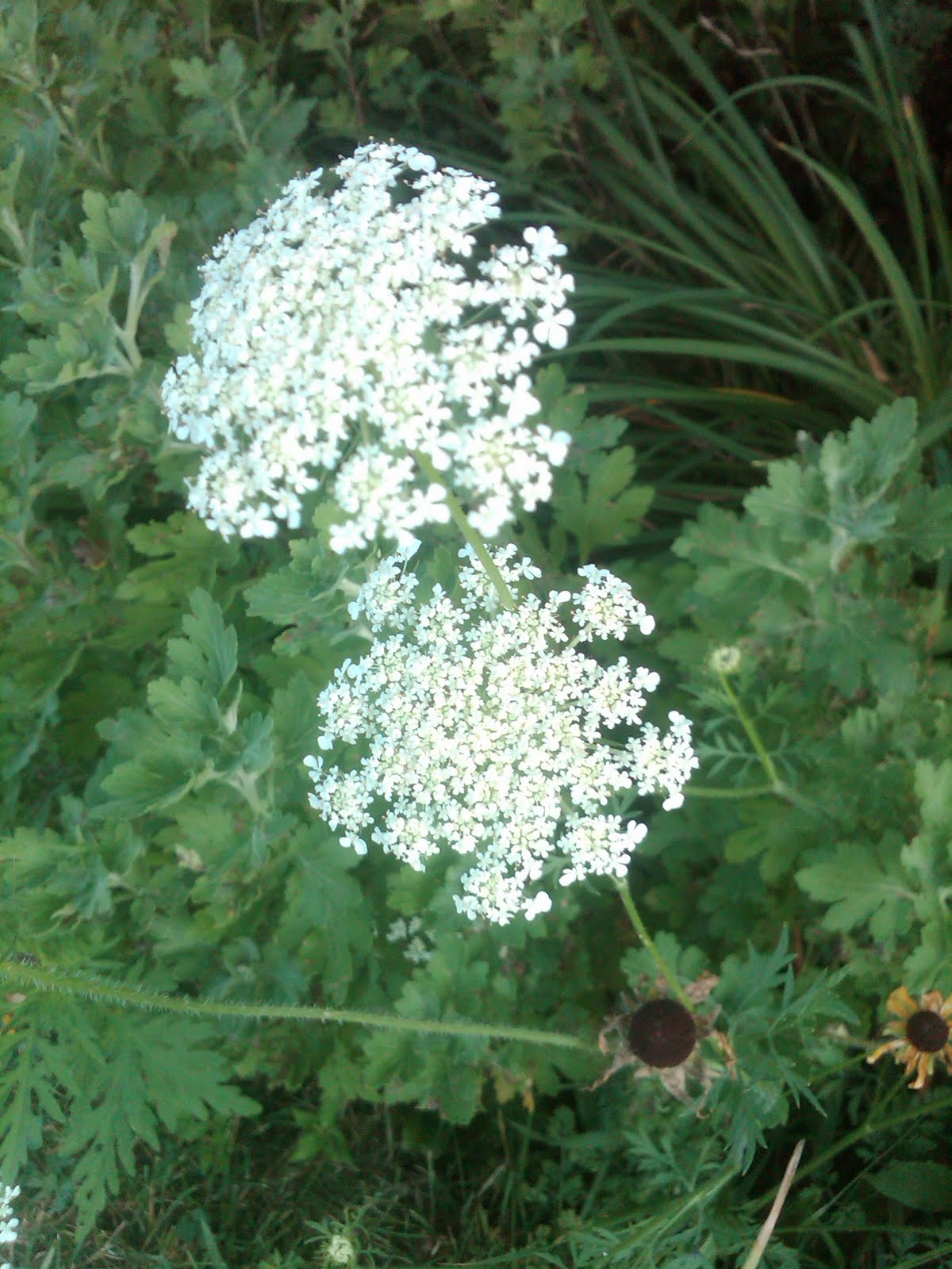 Best pictures of weeds with white flowers ideas images for wedding famous weeds with white flowers contemporary images for wedding mightylinksfo Choice Image
