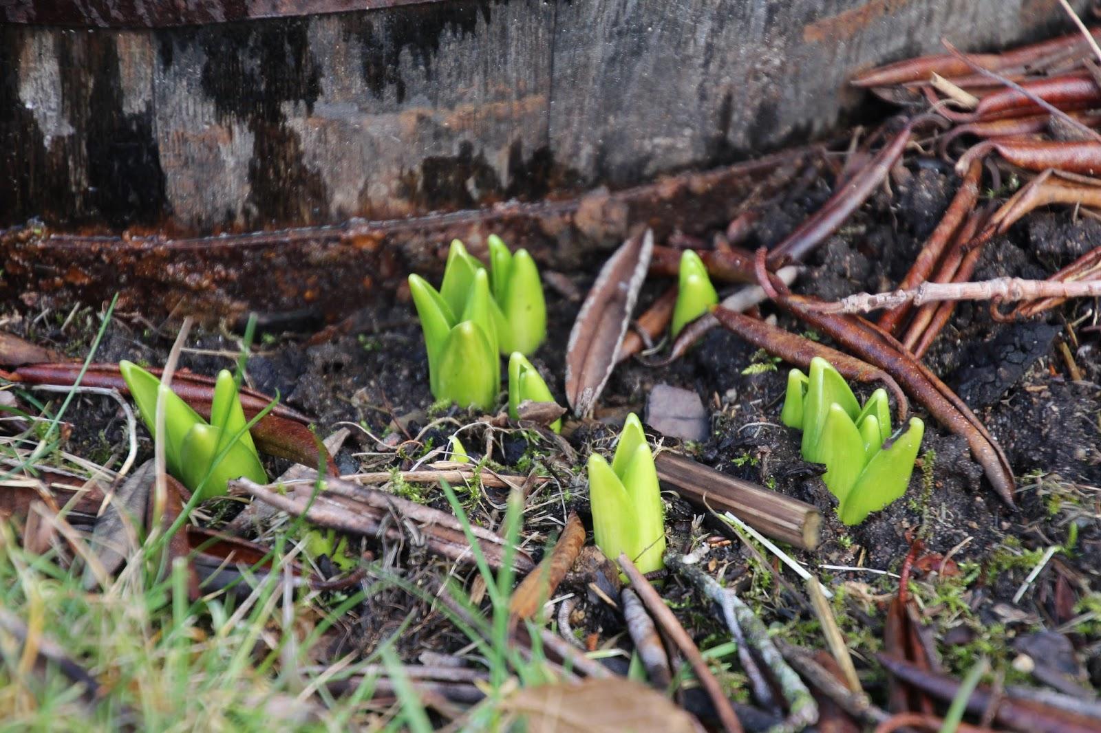 Trädgårdshyacint Hyacinthus orientalis