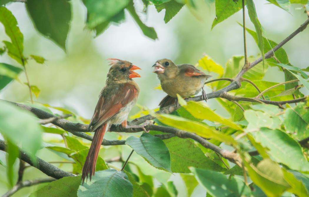 Cardinal feeds fledgling