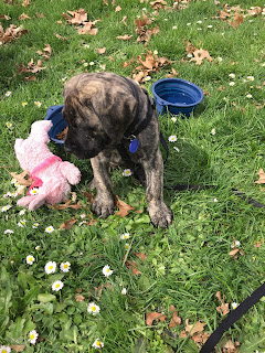 mastiff puppy on grass in sun, with bowl of water and pink toy