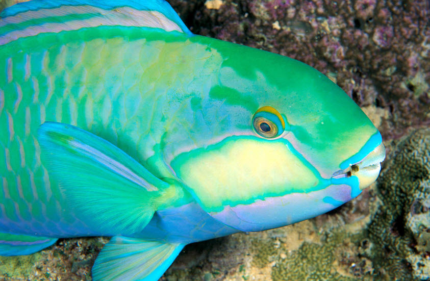 Parrotfish | The Biggest Animals Kingdom