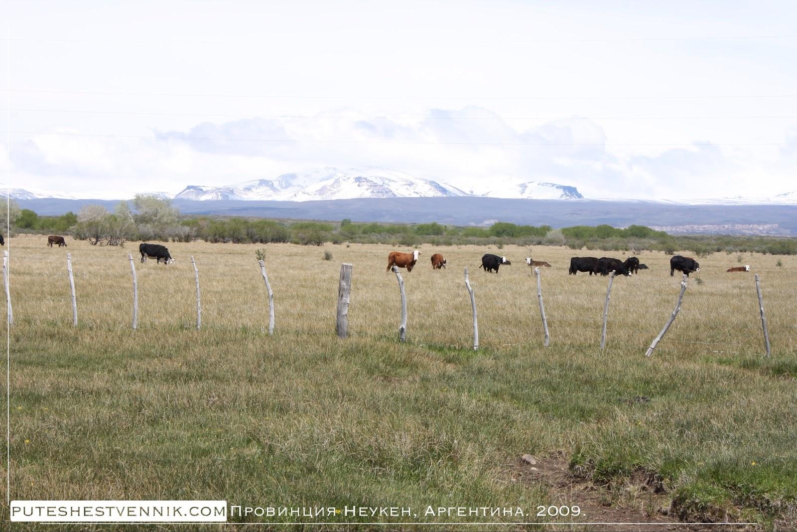 Коровы на пастбище в провинции Неукен