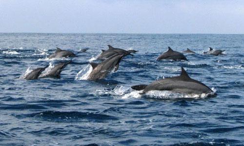 Lumba-lumba di Teluk Kiluan