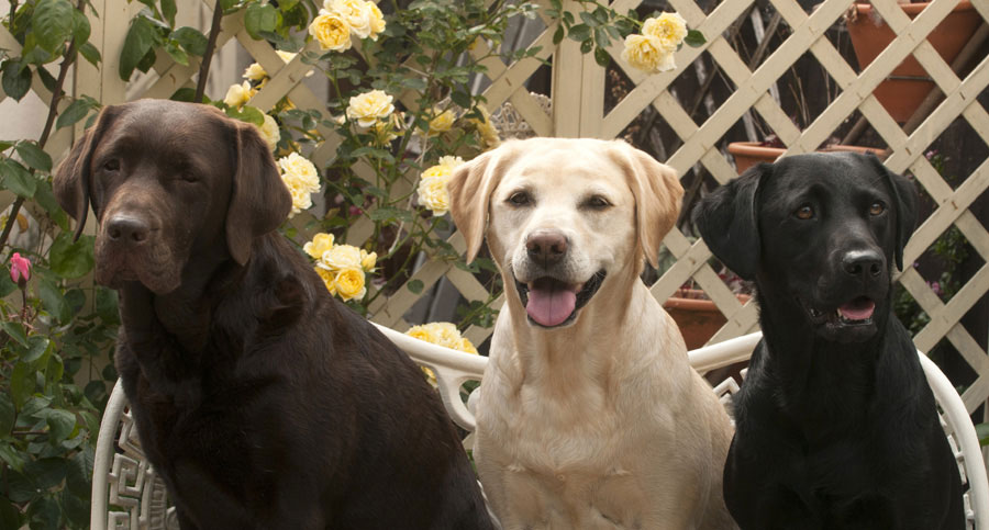 Are All Labrador Retrievers the Same?