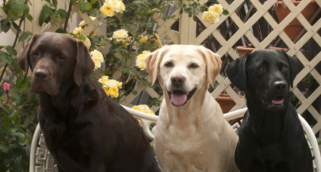 Three Labrador Retrievers, Chocolate, Yellow and Black: The differences between colours