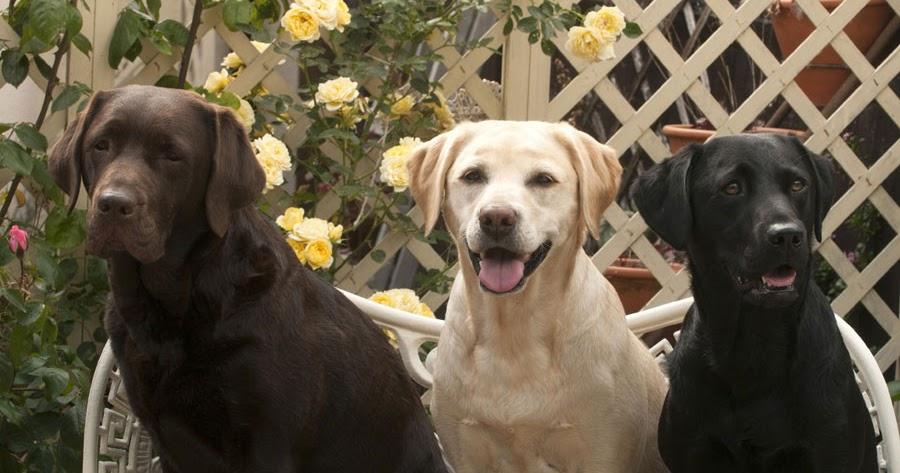 Are All Labrador Retrievers The Same