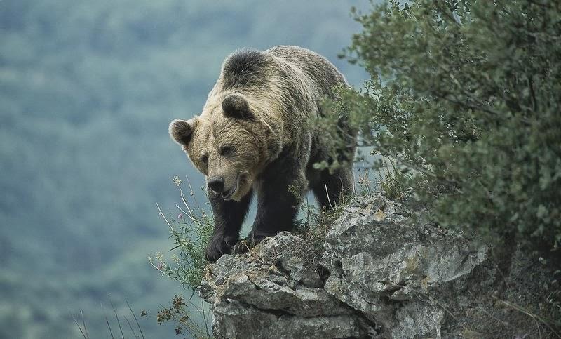 Resultado de imagen de oso pardo pirineo