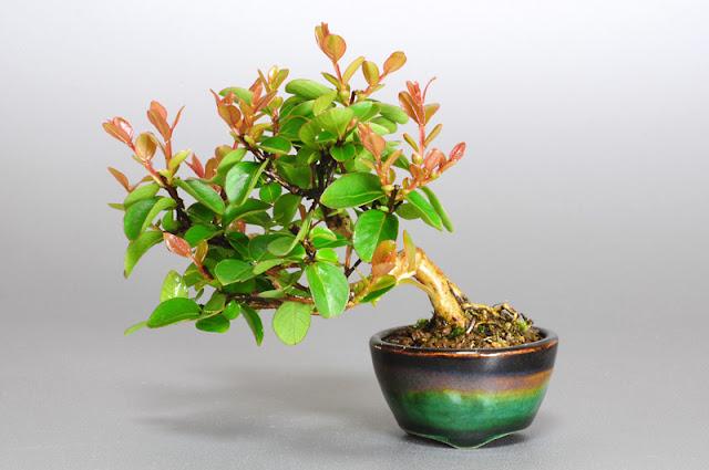 サルスベリ-N1(百日紅 豆盆栽 )Lagerstroemia indica bonsai