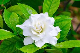 gardenia-flower-surabaya