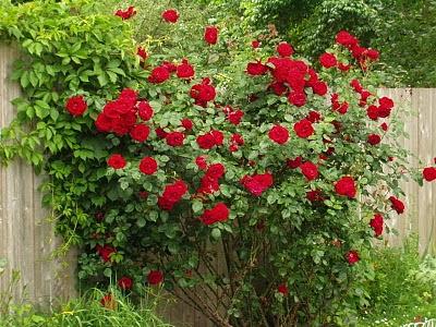 Cara Menanam Bunga Mawar Merah