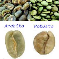 Cara menanam pohon kopi robusta, teknik budidaya kopi robusta yang benar, tips lengkap menanam kopi, Tanaman Perkebunan, perbedaan kopi arabika dan robusta, bercocok tanam pohon kopi, Kopi Robusta
