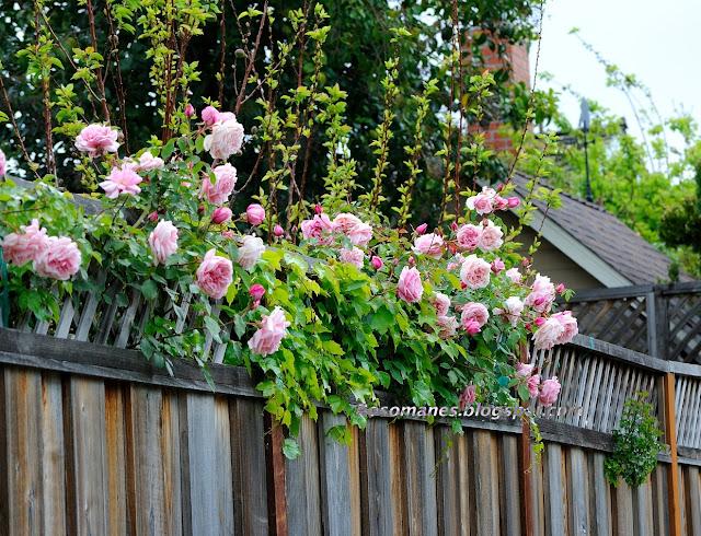 Tường rào nhà đẹp với hoa hồng leo mầu hồng