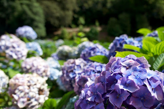 so far so chic: Hydrangea Valley at Trebah Gardens