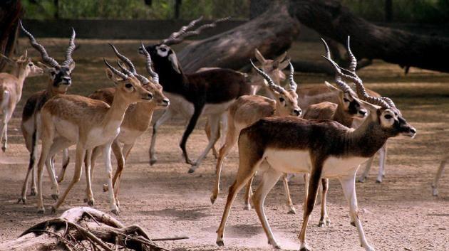 Image result for Vallanadu Blackbuck Sanctuary