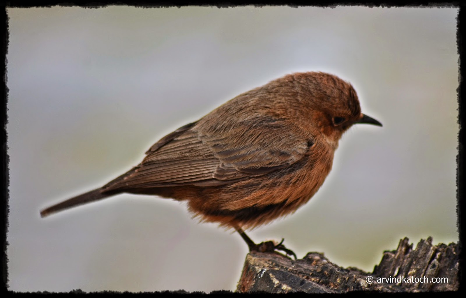 Brown Rock Chat, Indian Chat, Brown bird, Small bird,