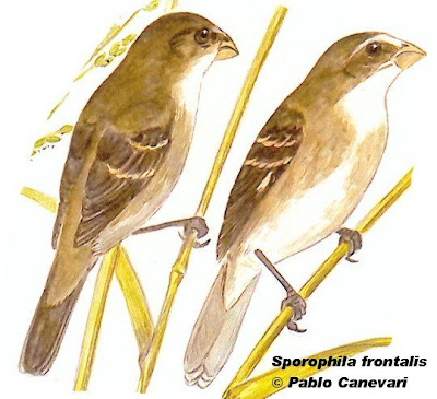 Corbatita oliváceo Sporophila frontalis
