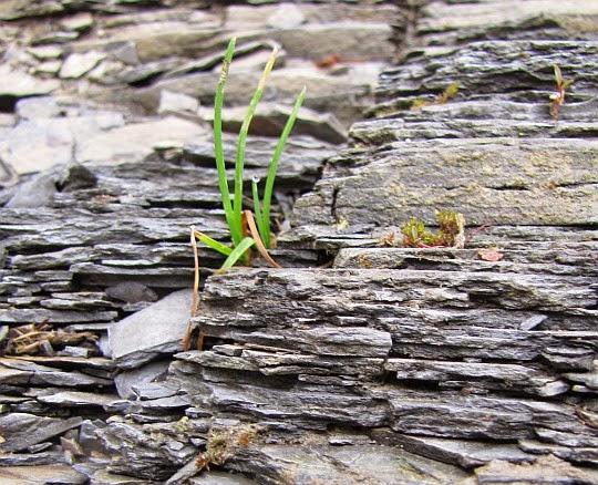 Oligoceńskie łupki menilitowe z kępką trawy