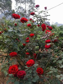 hoa hồng tree rose thân gỗ