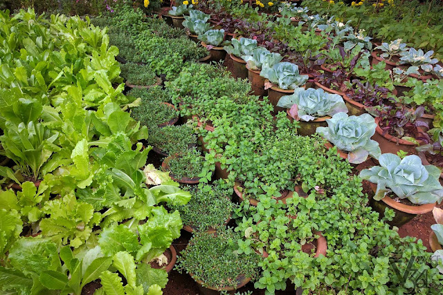 Vegetable plants on display lettuce, cabbage,...