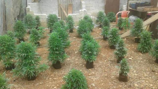 Συνελήφθη ο δραπέτης - ισοβίτης που καλλιεργούσε χασισόδεντρα στο Άργος