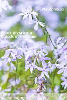 Bodendecker - Polsterstauden für den mediterranen Garten - Phlox divaricata