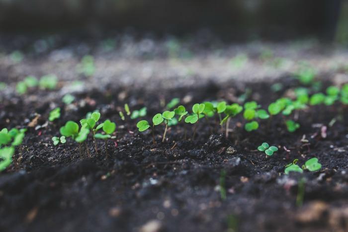Plantitas de rúcula