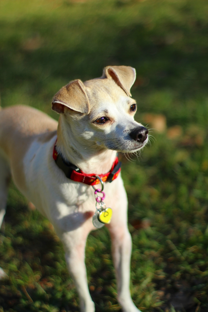 Chihuahua and Italian Greyhound Mix Rescue Dog