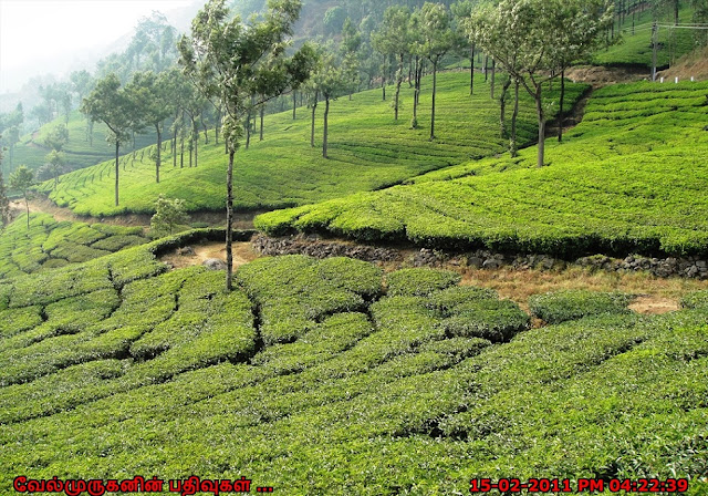 South India's largest tea-growing region Munnar